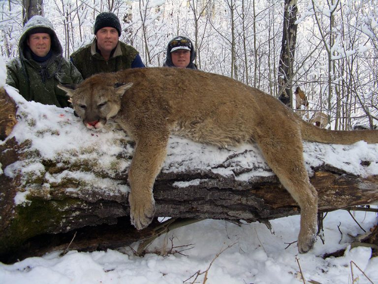 Timberline-Guiding-Cougar-Hunting15
