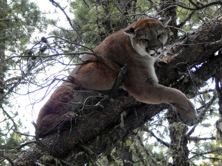 Timberline-Guiding-Cougar-Hunting6